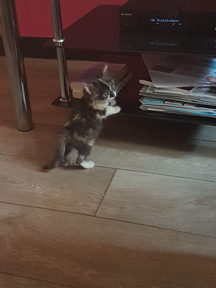 CHIPIE, adorable petite tricolore à poils longs de deux mois Chipie10