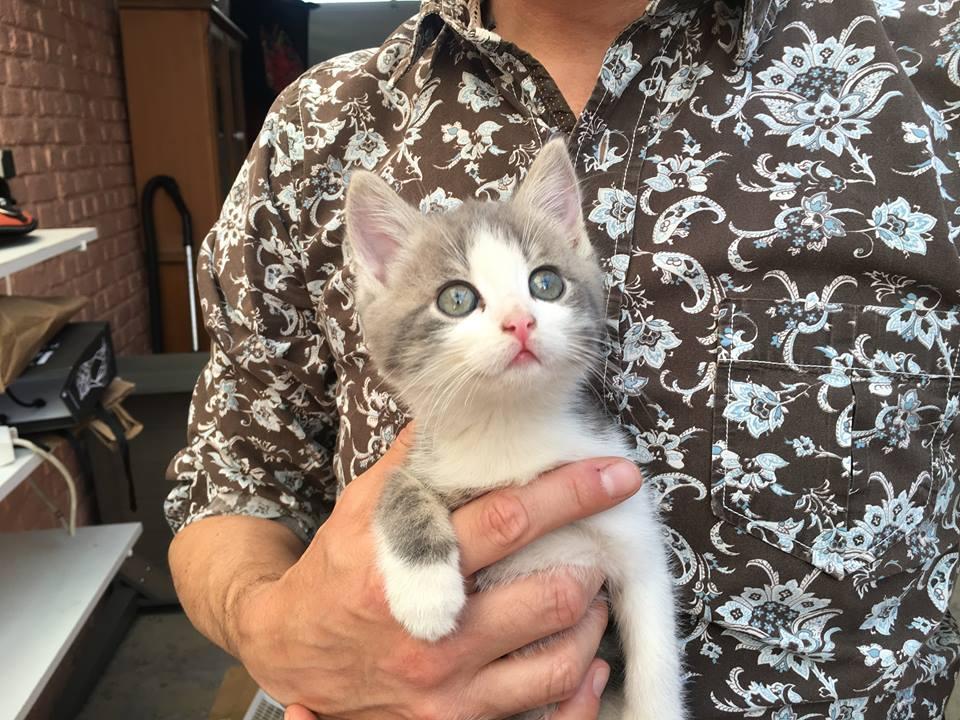 CHIPO, chaton mâle gris et blanc né le 01/05/18 Chipo10