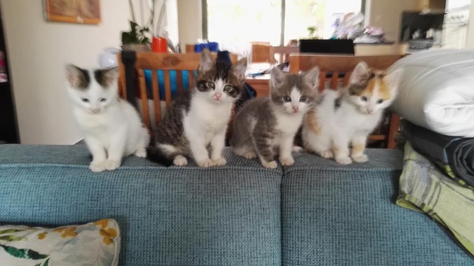 Tchoupi, chaton mâle blanc et anthracite tigré né le 01/05/18 Chipo112
