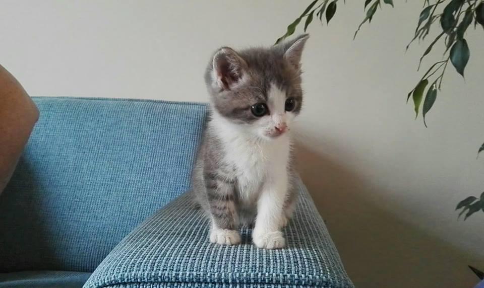 CHIPO, chaton mâle gris et blanc né le 01/05/18 Chipo210