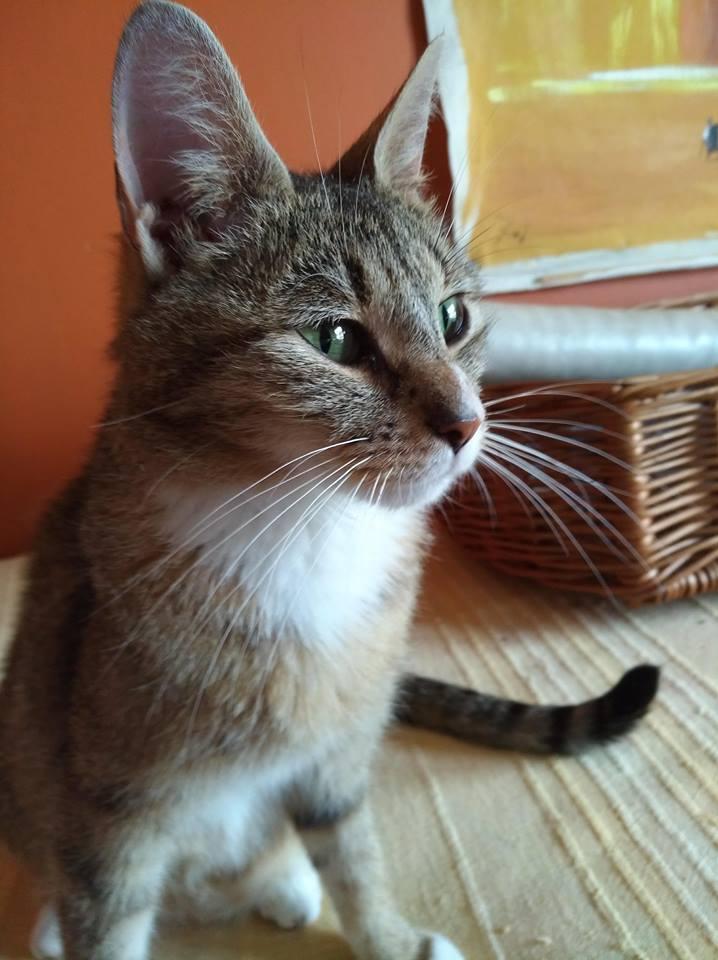 JANNA, belle chatte tigrée de 2 ans Janna010
