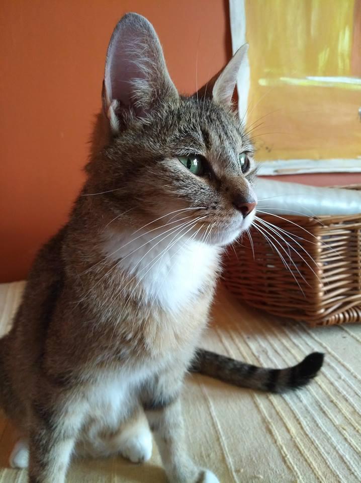 JANNA, belle chatte tigrée de 2 ans Janna110