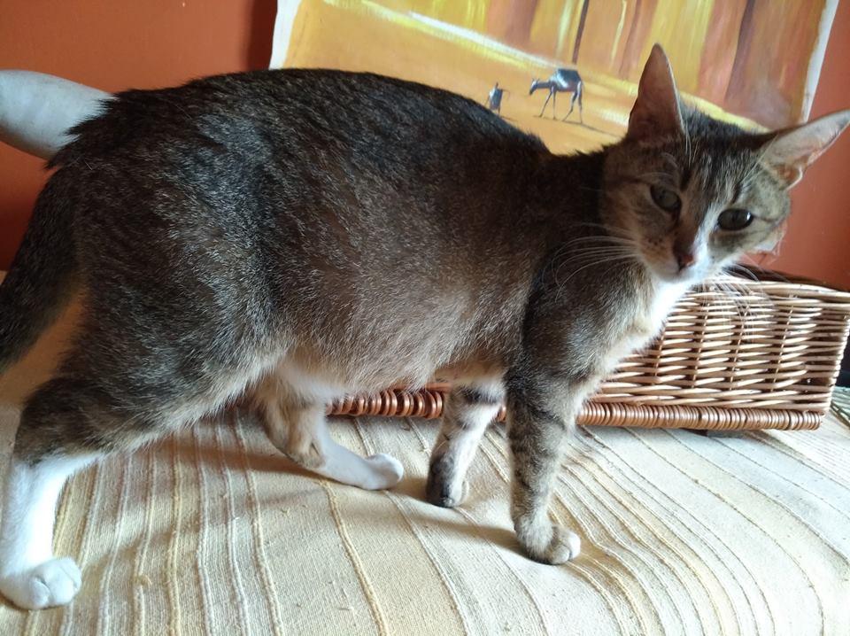 JANNA, belle chatte tigrée de 2 ans Jannaa10
