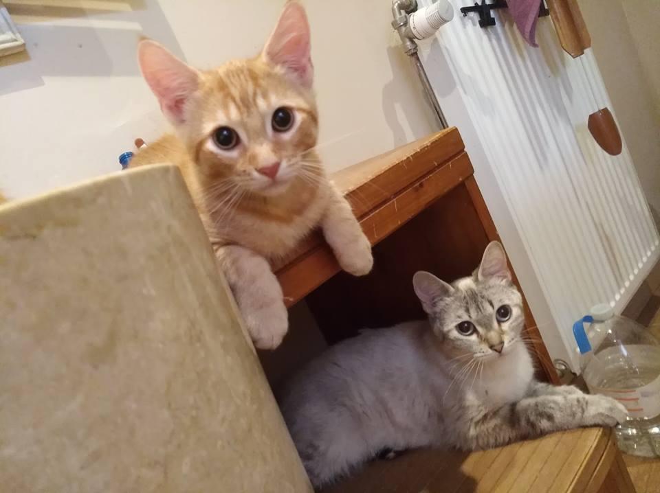 LUCIUS, chaton roux clair de Louna Mauric10