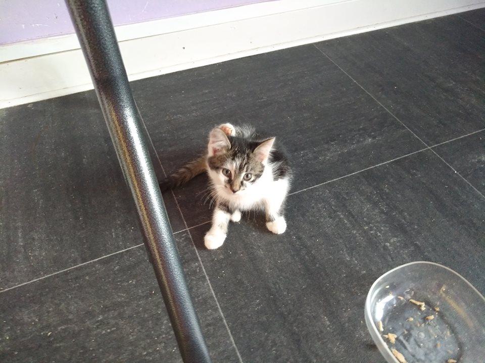 MIETTE, très jolie chatonne de 2 mois, blanche et tigrée brun et noir Miette12