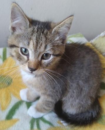 MILO, chaton mâle beige et gris né le 07/04/18 Milo1110