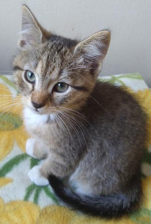 MILO, chaton mâle beige et gris né le 07/04/18 Milo1510