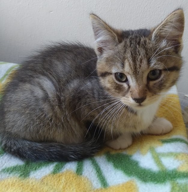 MILO, chaton mâle beige et gris né le 07/04/18 Milo2110
