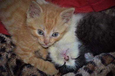 MINOU et BISOU, adorables chatons de 2 mois Minouv10