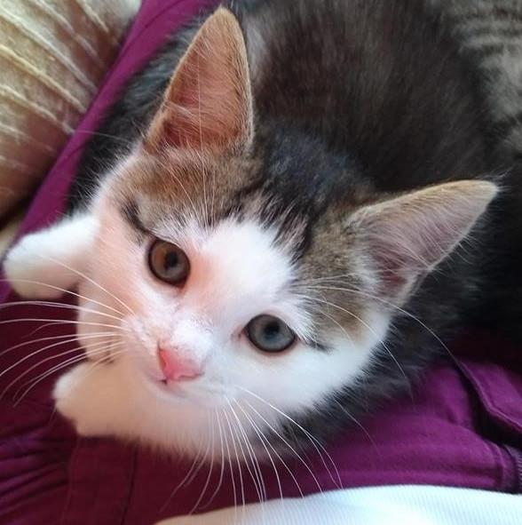 ODILON, chaton mâle blanc et gris tigré né le 07/04/18 Odilon11