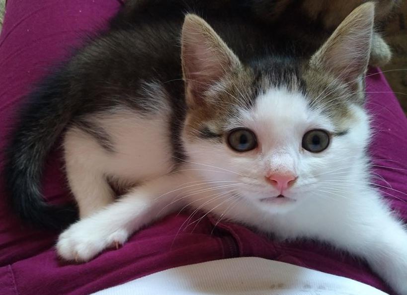 ODILON, chaton mâle blanc et gris tigré né le 07/04/18 Odilon12