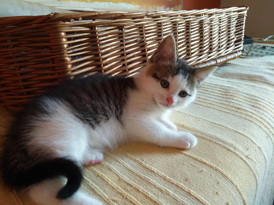 ODILON, chaton mâle blanc et gris tigré né le 07/04/18 Odilon13
