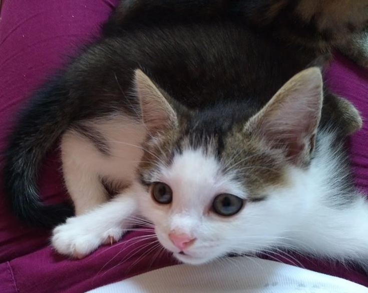 ODILON, chaton mâle blanc et gris tigré né le 07/04/18 Odilon14