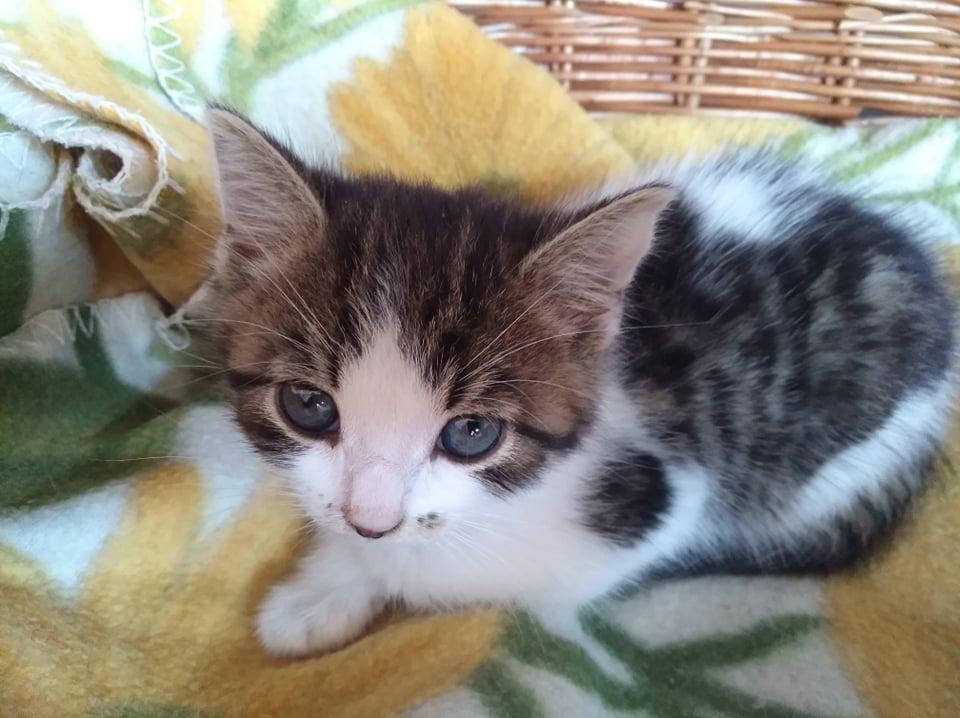 OLIVER, joli petit père blanc et tigré de 5 semaines Oliver10