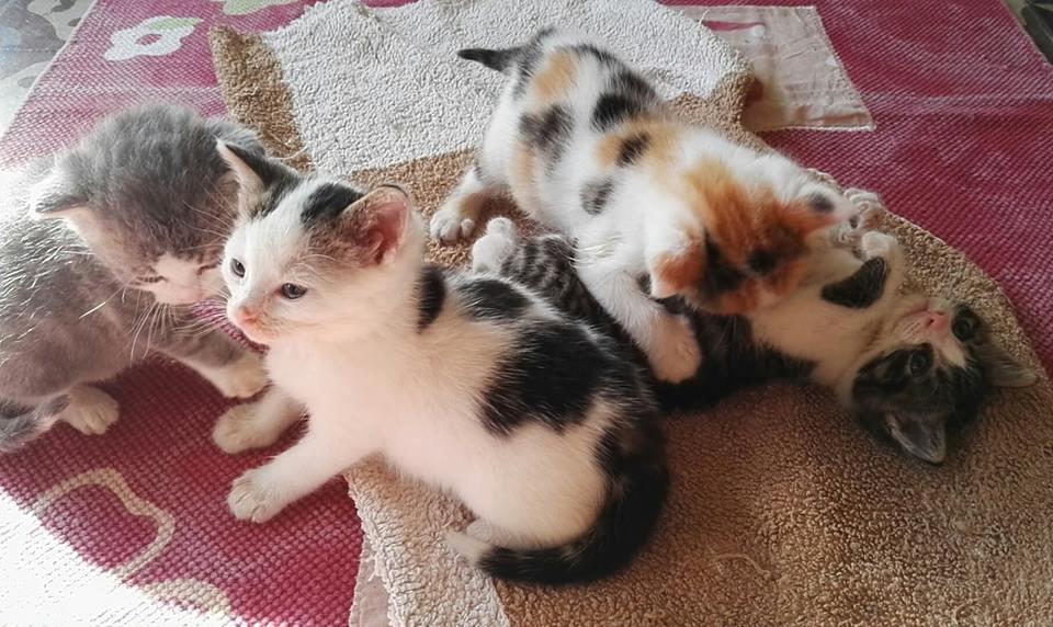 PASTILLE, très beau chaton mâle arlequin né le 01/05/18 Pastil12