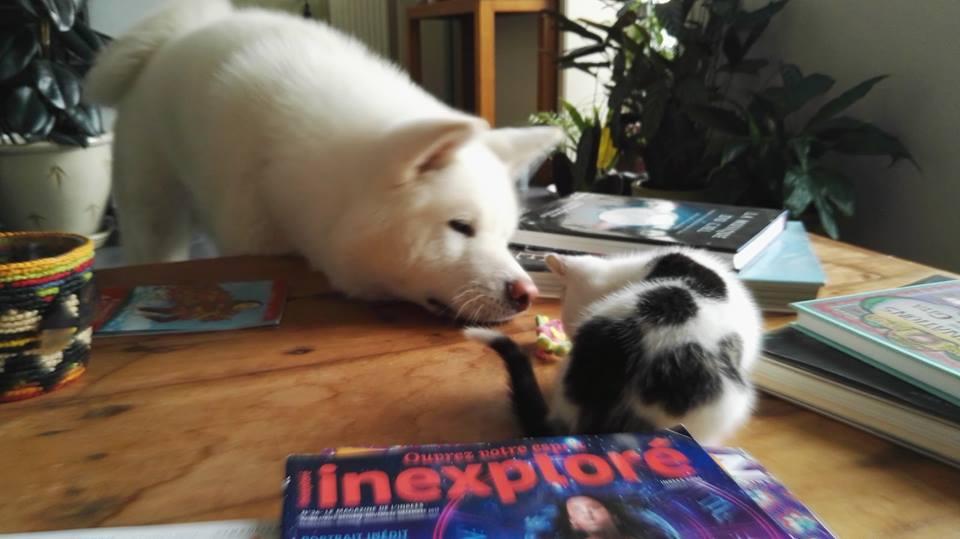 PASTILLE, très beau chaton mâle arlequin né le 01/05/18 Pastil13