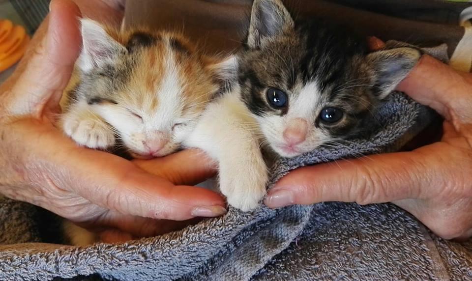 Tchoupi, chaton mâle blanc et anthracite tigré né le 01/05/18 Tchoup10