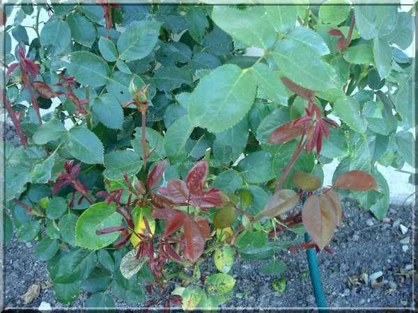 Les rosiers Dsc02274
