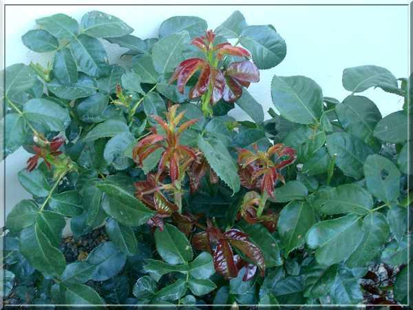 Les rosiers Dsc02275