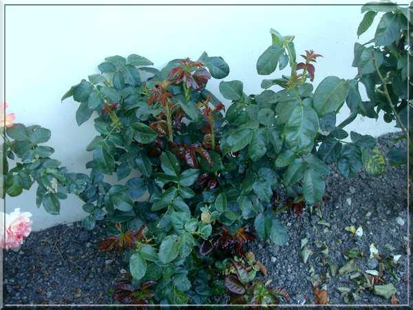 Les rosiers Dsc02276