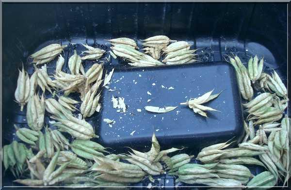 Les graines... la récolte ! Dsc02380