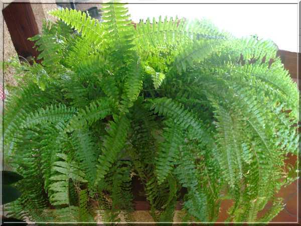 Les plantes d'intérieur chez camélia Dsc02420