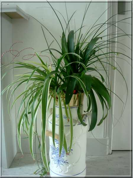 Les plantes d'intérieur chez camélia Dsc02423
