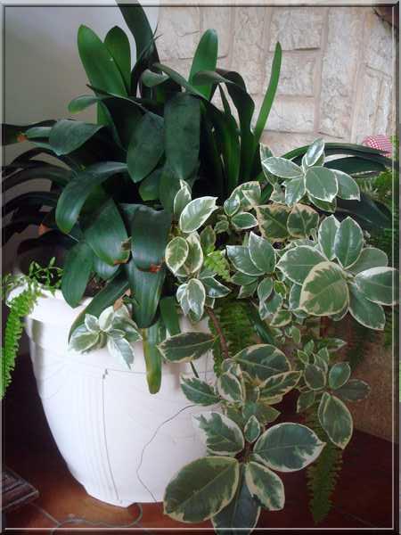 Les plantes d'intérieur chez camélia Dsc02426