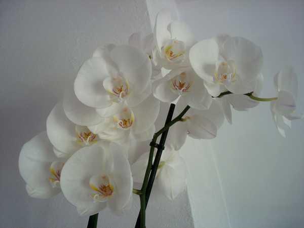Des nouvelles de mes orchidées... Dsc04061
