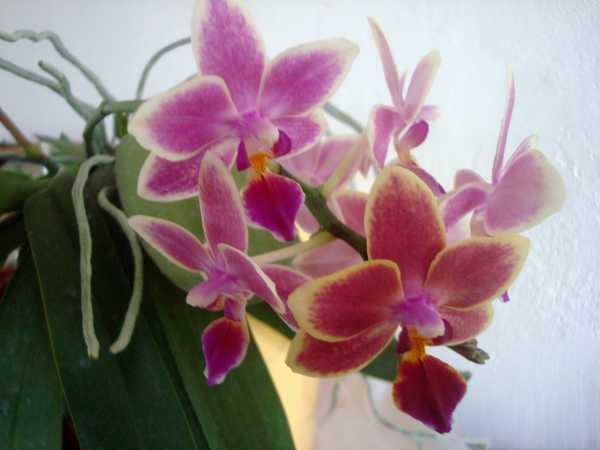 Des nouvelles de mes orchidées... Dsc04062