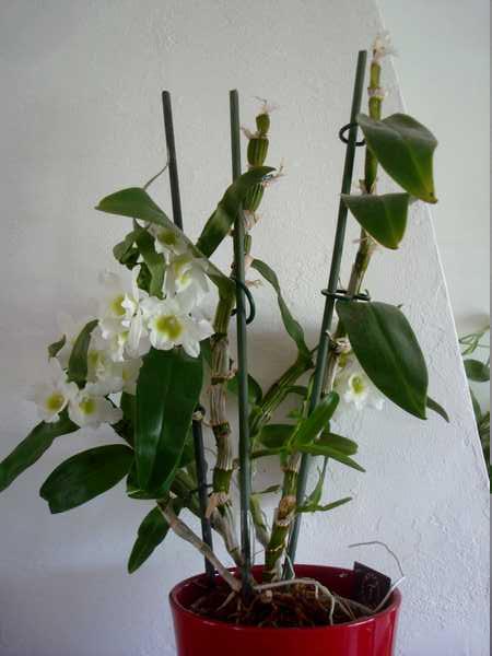 Des nouvelles de mes orchidées... Dsc04111