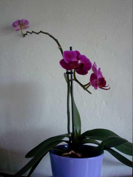 Des nouvelles de mes orchidées... Dsc04112