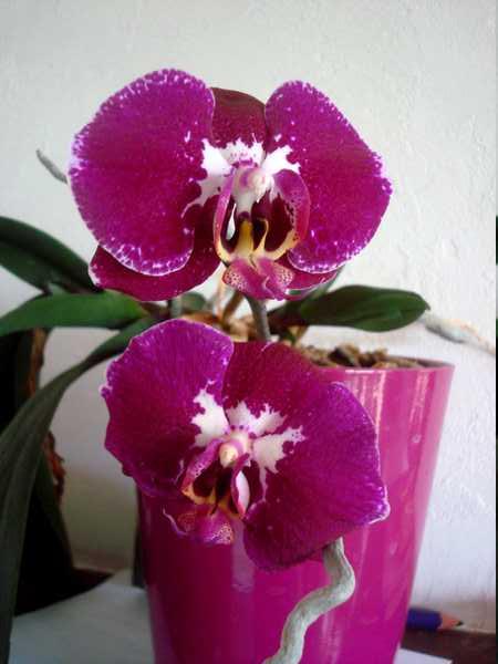Des nouvelles de mes orchidées... Dsc04114
