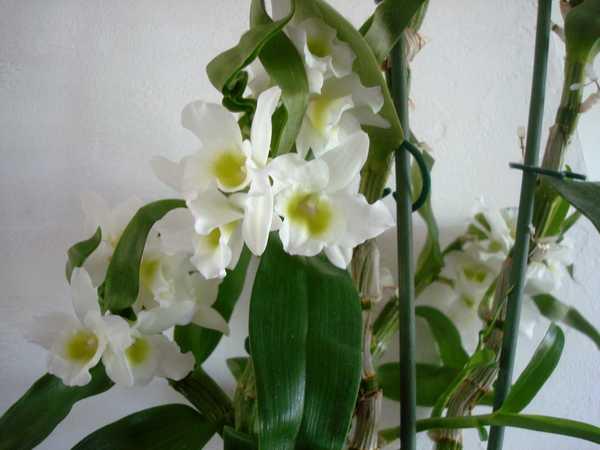 Des nouvelles de mes orchidées... Dsc04115