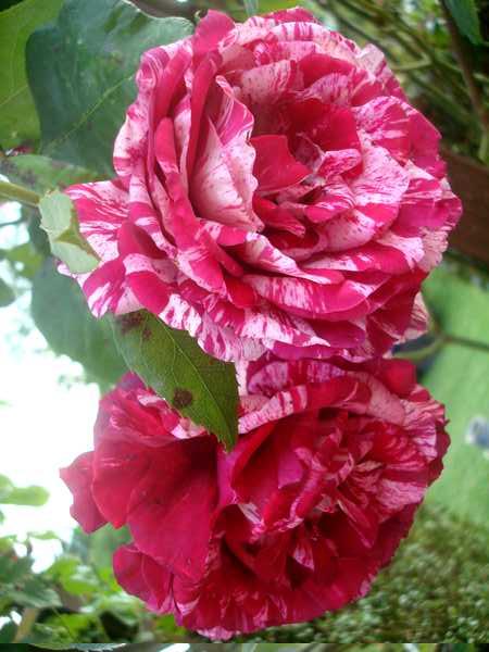 La couleur des roses... Dsc04572