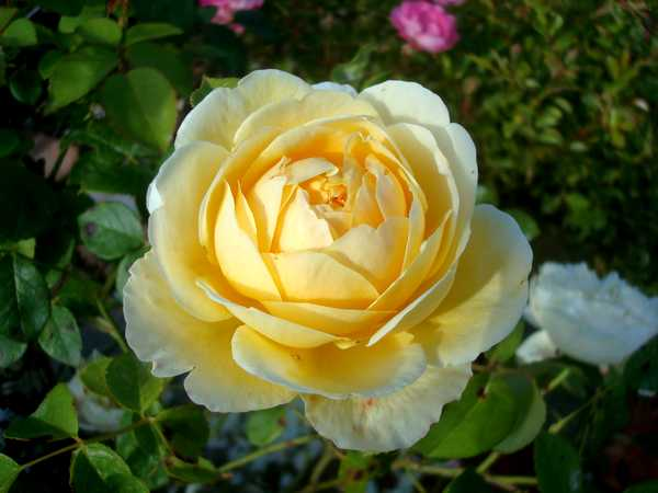 La couleur des roses... Dsc04574