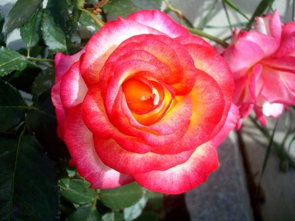 La couleur des roses... Dsc04576
