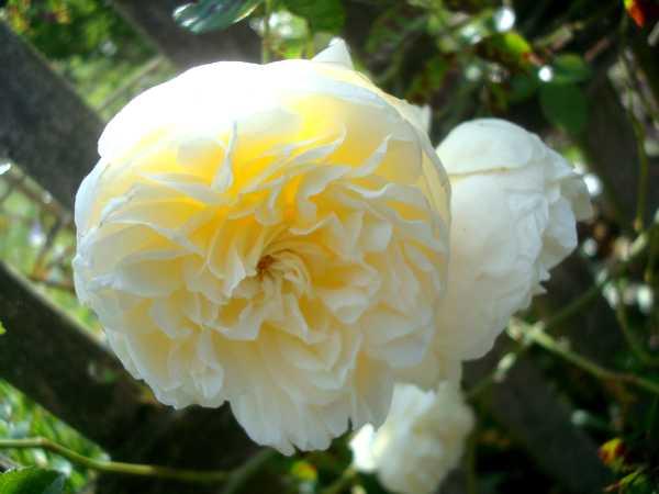 La couleur des roses... Dsc04621