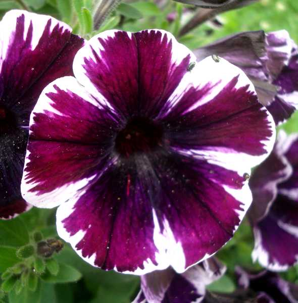 Les pétunias... source de couleurs insolites !  Dsc04630