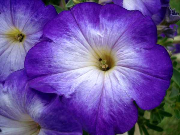 Les pétunias... source de couleurs insolites !  Dsc04631