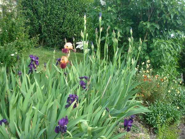 Les iris : un régal pour les yeux ! Dsc05734