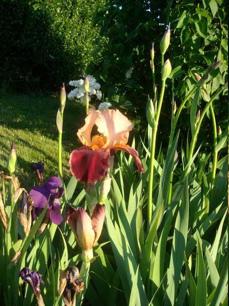 Les iris : un régal pour les yeux ! Dsc05737