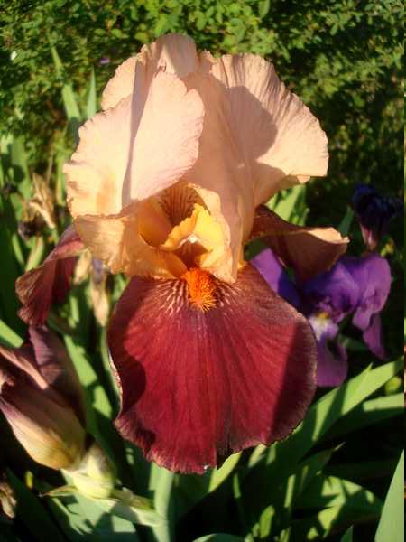 Les iris : un régal pour les yeux ! Dsc05740