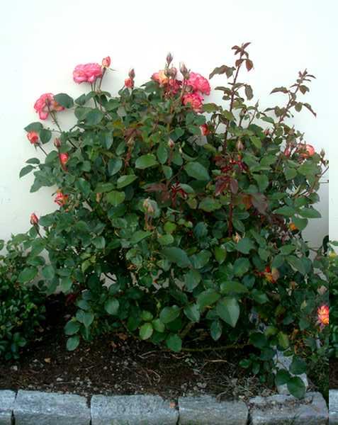 Les roses sont de retour... Dsc05741