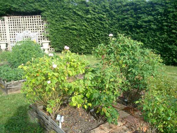 Les roses sont de retour... Dsc05743