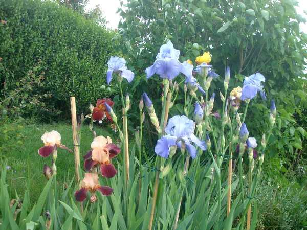 Les iris : un régal pour les yeux ! Dsc05812