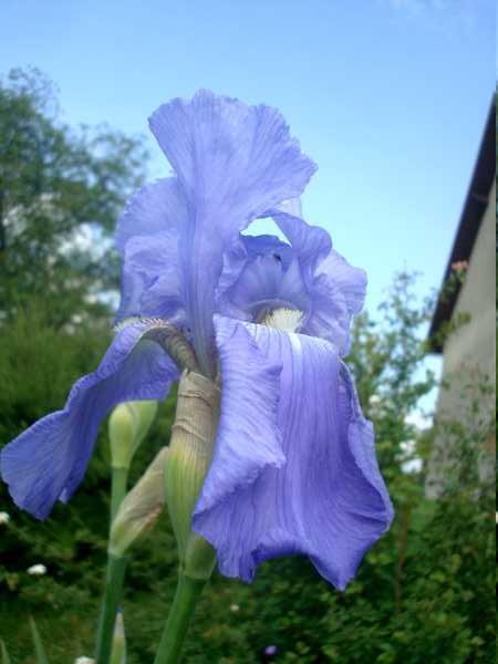 Les iris : un régal pour les yeux ! Dsc05814