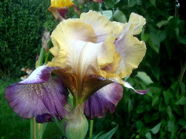 Les iris : un régal pour les yeux ! Dsc05816