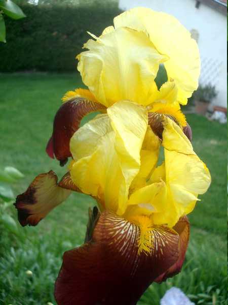 Les iris : un régal pour les yeux ! Dsc05817
