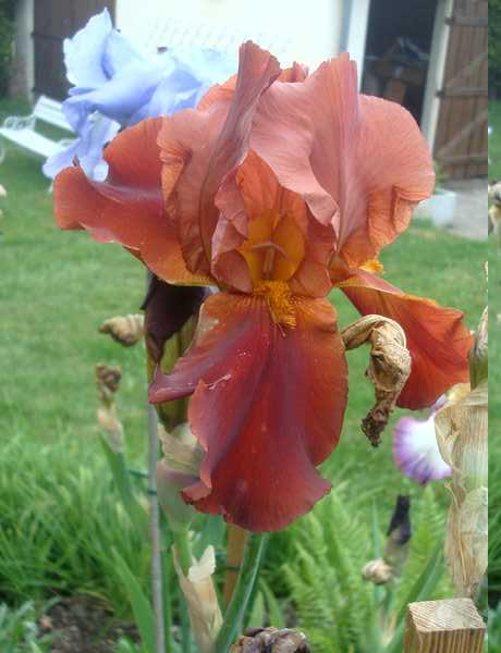 Les iris : un régal pour les yeux ! Dsc05818
